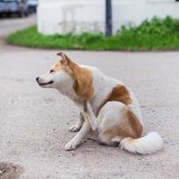 un perro intenta rascarse la piel. foto