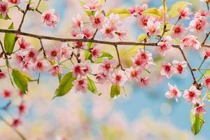 sakura flower or cherry blossom under bluesky photo