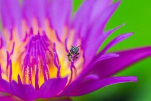 abeja en loto hermoso fondo foto
