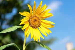 un girasol amarillo en plena floración en el campo foto