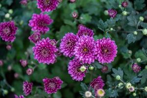The smaller purple chrysanthemums in the park are against a dark green background photo