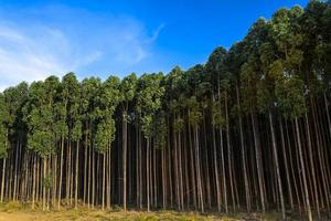 Forest planted with eucalyptus on a farm in the State of Sao Paulo, Brazil photo