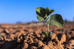 sprout of the peanut plant grows in the field of a farm in Brazil photo