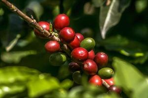 coffee beans on coffee tree, in Brazil photo