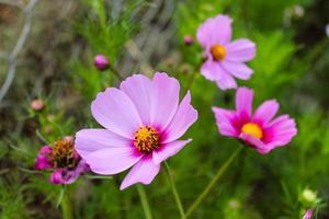 Natural Beautiful Purple and pink Flowers Closeup photo