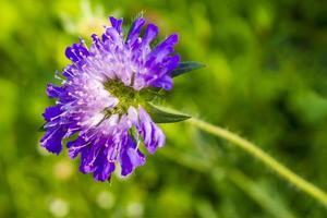 Flores violetas azules en el prado de flores de verano en Noruega foto