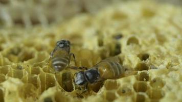 Bee macro and honeycomb video