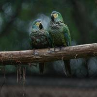 Red bellied macaw photo