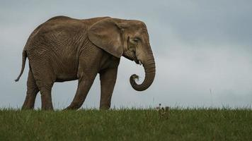 African bush elephant photo