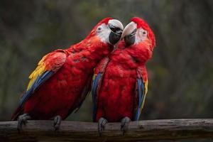 Portrait of Scarlet macaw photo