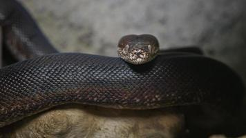 Macklot's python in terrarium photo