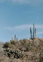 Vertical picture of huge cactuses on the grassy hills photo
