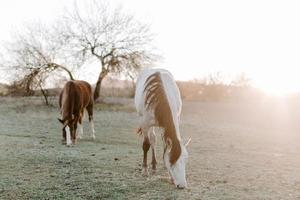 Picture of two beautiful horses grazing against the sunlight photo