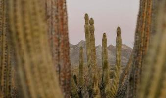 Selective focus shot of huge cactuses under the sunlight photo