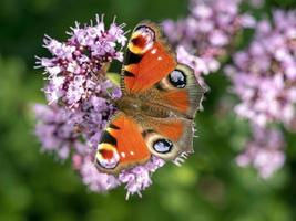 Mariposa pavo real alimentándose de las flores de una planta de orégano foto