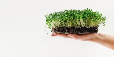 Female hand holding arugula sprouts with potted soil on white background. Copy space photo