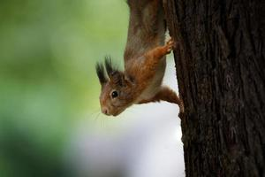 Close up of squirrel upside down on tree trunk looking curious photo