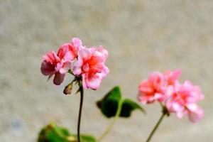 Geranium plant Horizon Divas Ripple Mixed with spotty pink flowers photo