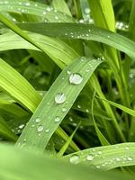 Fresh green grass with rain water drops. Summer nature background. Nature scene with droplets on green leaf. Beautiful artistic image of purity and freshness of nature photo