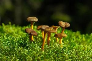 Group of funnel chanterelles in sunlight photo