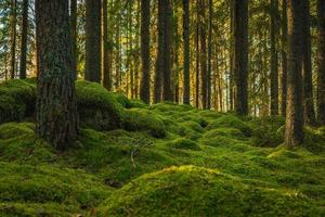 Elvish pine and fir forest with green moss covering the floor photo