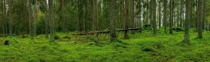 Amplia vista panorámica de un antiguo bosque de abetos en Suecia foto