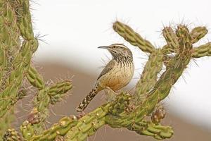 Cactus Wren on a Cholla in the Desert photo