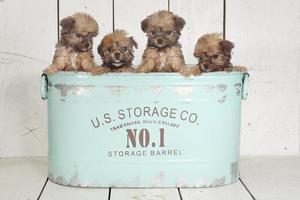 Taza de té yorkshire terriers en ajuste de calendario foto