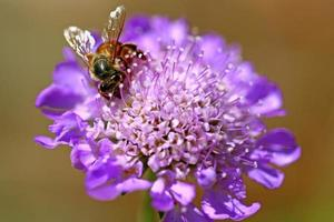 Imagen macro de un abejorro en una flor foto