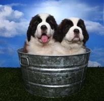 adorables cachorros de san bernardo foto