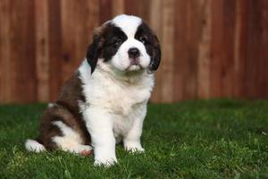 adorable cachorro de san bernardo foto