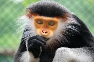 Red shanked Douc Langur photo
