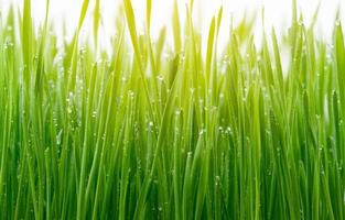 Green wheat grass isolated on white background photo