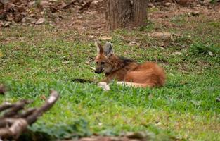 Maned wolf Chrysocyon brachyurus photo