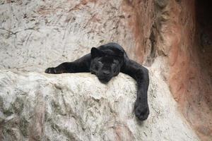 lazy black panther photo