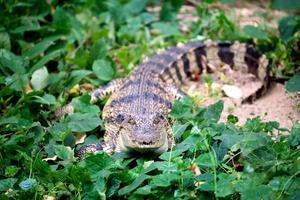 small crocodile hiding in green grass photo