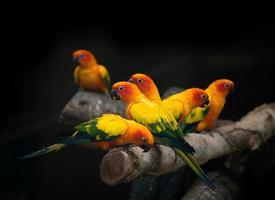 grupo de sunconure loro pájaro fondo oscuro foto
