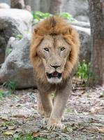 male lion walking in zoo photo