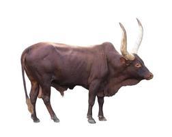 ankole watusi isolated on white background photo