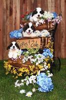 retrato de cachorros de san bernardo foto