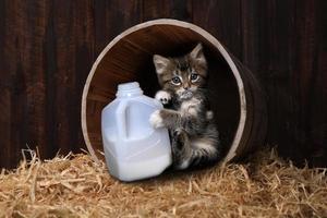 gatito maincoon bebiendo galón de leche foto