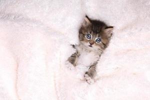gatito maincoon con ojos grandes foto