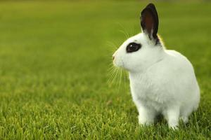 White Bunny Rabbit Outdoors in Grass photo