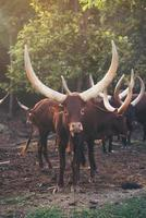 ankole watusi cattle in zoo photo