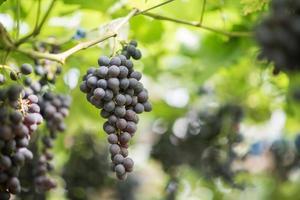 granja de cosecha de uva foto