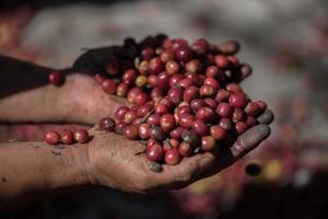 Granos de café de frutos rojos orgánicos en la granja foto