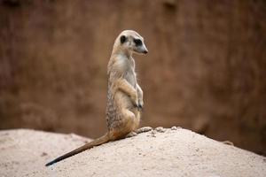 cute meerkat Suricata suricatta photo