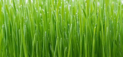 Green wheat grass photo