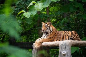 bengal tiger lying  down photo