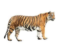 tigre de bengala aislado foto